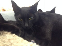 Aries - 9 month old spayed female