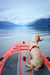 On the Paddle Board with Donut (Romain Collet) Tags: canada nature bc brittish columbia landscape nikon water vancouver outdoor d7100 colors beautiful trees west coast pacific dog camping trip dogs paddle board boarding lake harrisson fun cute