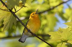 Prothonotary Warbler (jt893x) Tags: 150600mm bird d500 jt893x nikon nikond500 prothonotarywarbler protonotariacitrea sigma sigma150600mmf563dgoshsms songbird warbler