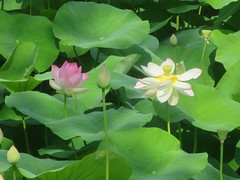 21_06_2017  Lotus flower Font merle pond Mougins (philippe.Onwire) Tags: fontmerle mougins frenchriviera alpesmaritimes lotus lotusflower ponds pond beautifulpark