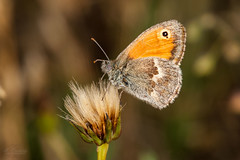 _DSC5033 (Miguel A. Quintás V.) Tags: d700 sigma sigma150mmf28exdghsmapomacro mariposa insecto insect butterfly macro sb800 nature naturaleza aproximacion