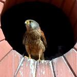 El macho de #cernícalo vulgar (#Falco tinnunculus) visitando el #nido #aves #birds #birdsofinstagram #falconiformes #falconidae #kestrel #xoriguer #bcn #barcelona #falconidos #pajaros #nest #polluelos #chick thumbnail