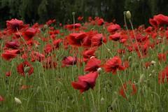 Poppy days (Marie Granelli) Tags: poppy red summer skåne sweden söderslätt
