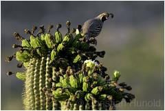 gambel's quail (Christian Hunold) Tags: gambelsquail bird bokeh saguarocactus catalinastatepark sonorandesert arizona christianhunold