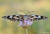 Ready to fly (alfvet) Tags: macro veterinarifotografi natura nature nikon sigma150 farfalle butterfly insetti lepidotteri