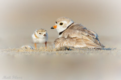 3 Stages: Eggshell, Chick, & Mom (Matt F.) Tags: piping plover chick nature pipingplover shorebird young