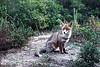 Foxy Lady (Itinerari Camper) Tags: travel camper viaggi itinerari italia italy toscana maremma fox volpe