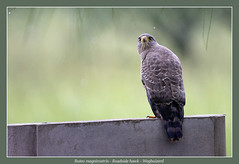 Roadside hawk (Jan H. Boer, Nature photographer) Tags: buteomagnirostris roadsidehawk wegbuizerd birds hawks nature wildlife costarica ranchohumoestancia nikon d5200 afsnikkor200500f56eedvr jan´sphotostream2017