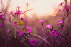 Pink Florals, Andalusia, Spain (thethomsn) Tags: pink florals andalusia spain closeup backlight beautyinnature thethomsn plants dof 30mm dreamy color flowers blossom