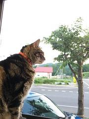 Tigger at the Window (sjrankin) Tags: 15july2017 edited animal cat tigger yubari hokkaido japan window windowsill kitchen outside