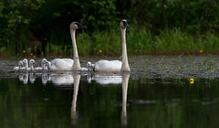 Trumpeter Swan Family (sarasonntag) Tags: cygnet northern wisconsin lake water family swan trmpeter june 2017 kayaking outdoor bird