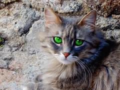 I gatti... (antonè) Tags: felino cat chat castelsardo occhi naso baffi sardegna antonè