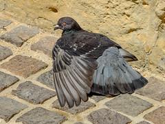 Injured (tubblesnap) Tags: malta gozo holiday vacation fuji xs1 injured pigeon