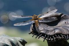 Four-spotted Chaser (Maria-H) Tags: fourspottedchaser libellulaquadrimaculata dragonfly dunhammassey cheshire uk olympus omdem1markii panasonic 100400 trafford england unitedkingdom gb