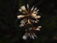 Pusteblumen (reuas ogni) Tags: pusteblume dandelion löwenzahn blume flower olympus zuiko natur nature wildlife outdoor outofnature paar makro macro isoz