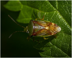 Shield Bug (Pitheadgear) Tags: astley astleygreen nature naturalhistory lancashire northwest countryside shieldbug macro macrophotography lumixgx8 leica45mmmacroelmarit