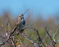 Anglų lietuvių žodynas. Žodis song-sparrow reiškia daina-sparrow lietuviškai.