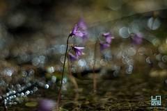 SOLDANELLE (Lace1952) Tags: fiore estate soldanella bokeh bolle orbs sfocato magia sogni panasonic lumix pancolar50mmf1 8