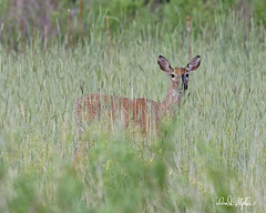 Doe In Spring Grass (dcstep) Tags: deer doe female whitetaildeer aurora colorado unitedstates us n7a5158dxo cherrycreekstatepark allrightsreserved copyright2017davidcstephens dxoopticspro114 handheld pixelpeeper canon5dmkiv ef500mmf4lisii nature urban urbannature grass prairiegrass getty ecoregistrationcase15586202651