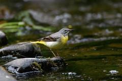 Grey wagtail (Shane Jones) Tags: greywagtail wagtail bird wildlife nature nikon d500 200400vr