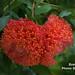 Mountain rose, Brownea sp.