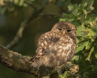 Little-Owl-7220