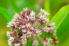 bee (avflinsch) Tags: ifttt 500px nature flower floral tree summer closeup leaf season grass insect garden bee petal flora outdoors wild blooming milkweed no person