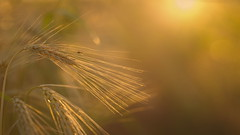 Hanging Around (Stefan Zwi.) Tags: fly fliege field feld samyang135mm sunsetlight sunset ilce7 sonya7 ngc npc