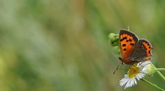 un tuffo nel verde... (andrea.zanaboni) Tags: farfalla butterfly nikon macro verde green insetti insect tuffo nikonflickrtrophy