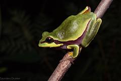 Pine Barrens Tree Frog (Hyla andersoni) (Saundersdrukk) Tags: pine barrens tree frog hyla andersoni florida treefrog animals
