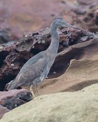 Pacific reef heron (Egretta sacra)-3279 (rawshorty) Tags: rawshorty birds canberra australia nsw portmacquarie