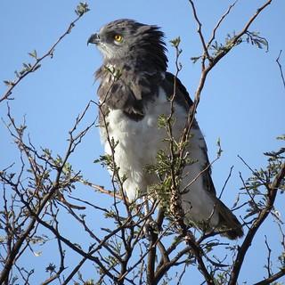 Black-chested Snake Eagle / Black-breasted Snake Eagle / Swartborsslangarend