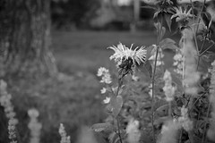 floral forms, tree trunk, lawn, neighborhood, West Asheville, NC, Nikon D3300, Sigma 18-50mm EX DC MACRO, 6.12.17 (steve aimone) Tags: floral floralforms flowers treetrunk lawn westasheville northcarolina nikond3300 sigma1850mmexdcmacro macro monochrome monochromatic blackandwhite