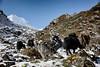 Yaks on the way to Pungyen Gompa (beudii) Tags: pungyen gompa nepal manaslu himal himalaya asia asien trekking hiking berge mountains yak animal