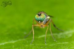 Slankpootvlieg - Dolichopodidae (Amanda Blom Photography) Tags: fly greenfly greeneyes macro macrophotography macrophoto green nature natuur groen leaf vlieg canon canonphoto