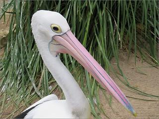 Pelican 'Pete'  ....  Explore 23/6/17  #74