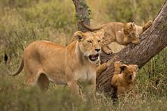 Lions of Maasai Kopjes 415 (Grete Howard) Tags: bestsafarioperator bestsafaricompany africa africansafari africanbush africananimals whichsafaricompany whichsafarioperator tanzania serengeti animals animalsofafrica animalphotos lions lioncubs maasaikopjes kopjes kopje