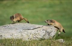 Funny marmots at Nivolet Pass (Italy) 🐾 (alessiabraghieri93) Tags: cute d7100 sigma150500 sigma nikontop nikon nikond7100 nature mountain wildanimals wildlife animals wild marmots marmotte marmot