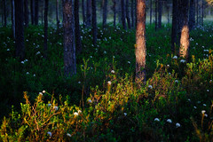 Evening in a blooming forest (allan-r) Tags: blooming labrador tea forest white flowers bog moss sookail soo