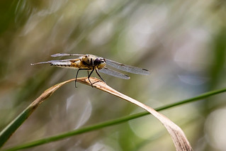 four-spotted chaser in a bokeh-wonderland