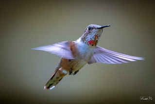 Flying hummingbird 飛行的蜂鳥