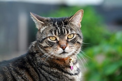 Summer cat (katjacarmel) Tags: kat gato chat outside summer huisdier dier portrait cute garden poes closeup eyes katze miu gatto animal macska