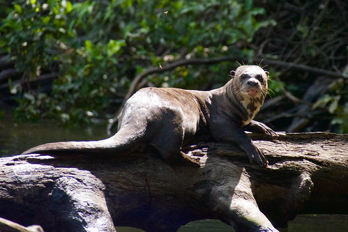brazil-amazon-cristalino-lodge-giant-river-otter-copyright-thomas-power-pura-aventura