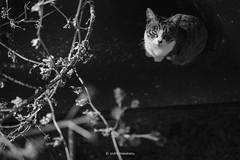 _DSF8283_ORIGINAL-FORMAT (izumi masakazu) Tags: monochrome streetsnap flickr cat shadow silhouette light spotlight river plant tetrapod ネコ ねこ 猫 影 シルエット 光 スポットライト 河 川 植物 草 テトラポット