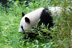 IMG_0499.jpg (wfvanvalkenburg) Tags: ouwehandsdierenpark panda familie