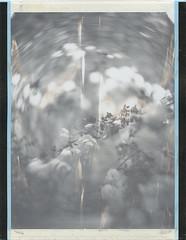 Midsummer roses (Maija Karisma) Tags: fujifilm fuji instant peelapart fp100c45 expiredfilm 4x5 graflex graflexpacemakerspeedgraphic pezval