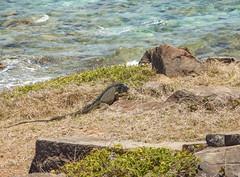 2017-04-22_12-00-34 Pinel Island Iguana (canavart) Tags: sxm fwi stmartin stmaarten sintmaarten orientbay pinelisland ocean caribbean island tropical iguana iletpinel
