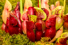 Pitcher plants (Keith in Exeter) Tags: chelsea flower show 2017 pitcher plant carnivorous pitfall trap nature