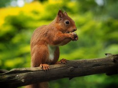 Red Squirrel (Stuart D Robertson) Tags: nature wildlife clunyhouse redsquirrel