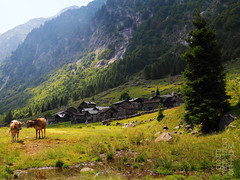 Feeling (lightsaber*) Tags: cows cow mucca houses town paese notaro gordona mountains light shadows two torrent chiavenna trekking rocks stone stones trees spruce alps alp italy green meadow prato path sentiero bodengo valle explore lombardia mountain landscape mountainscape animal